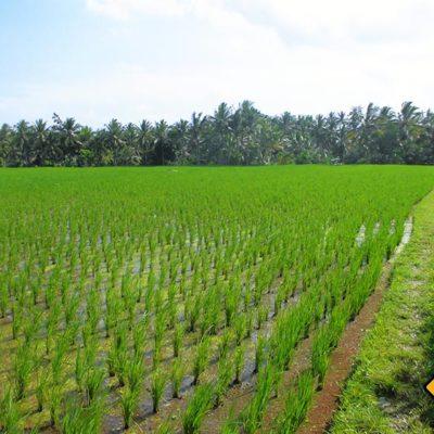 Junger Reis in Ubud