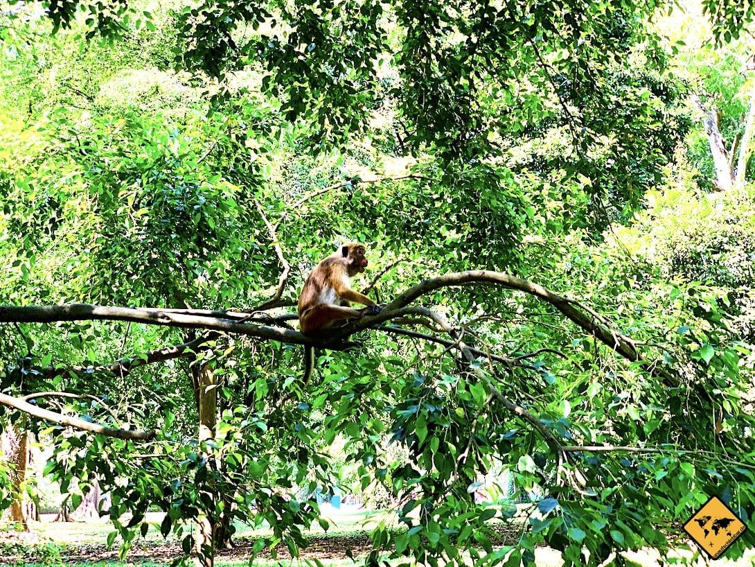 Kandy Sri Lanka Affe botanischer Garten