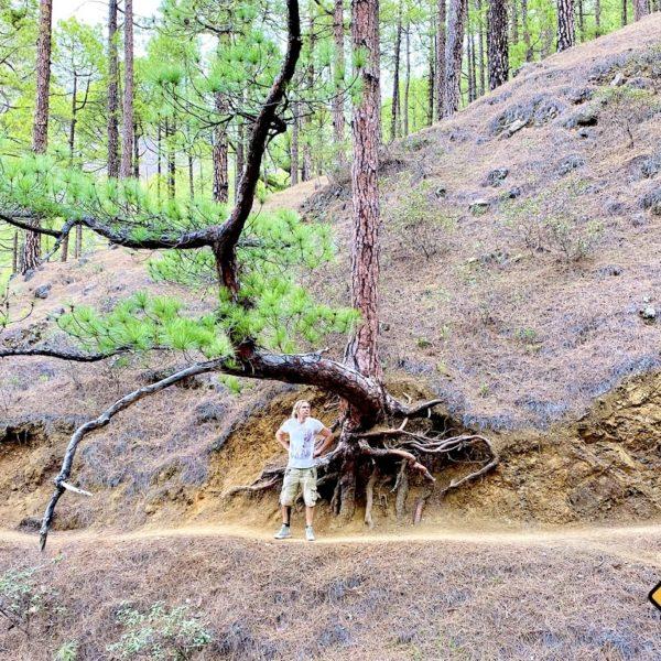 Kiefernwurzel La Palma Nationalpark Taburiente