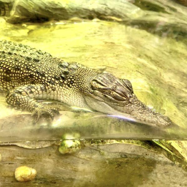 Krokodil Dubai Aquarium