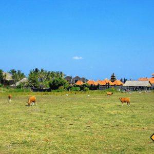 Kühe und Landwirtschaft prägen die Felder Balis