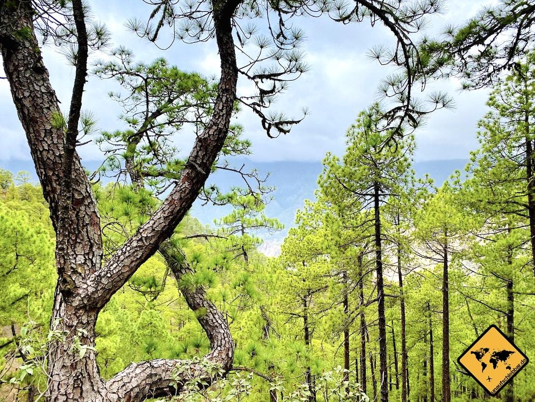 La Palma Kiefernwald Mirador de la Cumbrecita