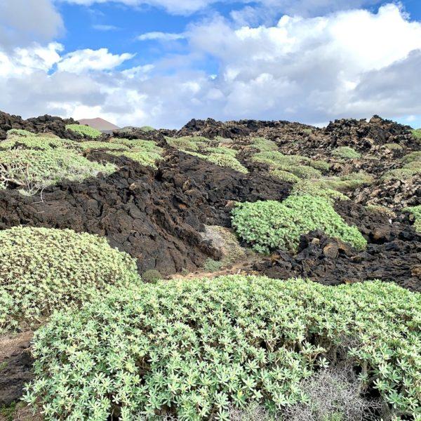Lava Pflanzen El Golfo Lanzarote Küstenwanderung