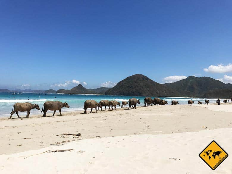 Lombok Beach Selong Belanak Büffel