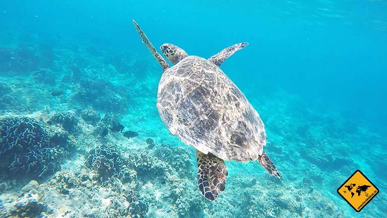 Lombok oder Bali Schildkröte