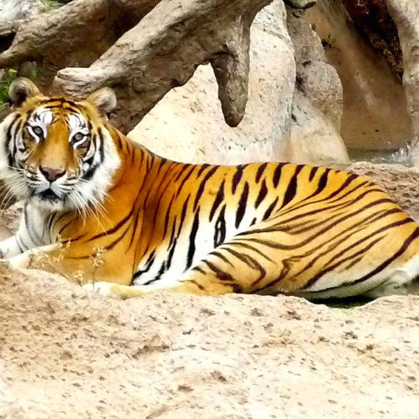 Loro Parque Puerto Cruz Tiger