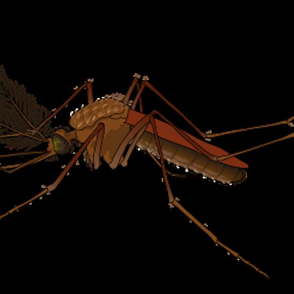Männliche Mücke