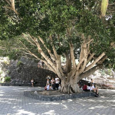 Der große Baum auf der Aussichtsplattform der Masca Schlucht spendet Schatten in der ansonsten sehr sonnigen Schlucht