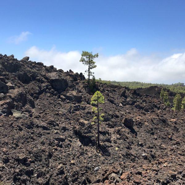 Mirador de Los Poleos Lavafeld Baum