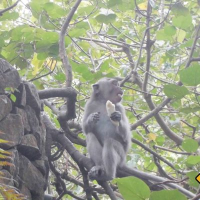 Monkey Forest Affe