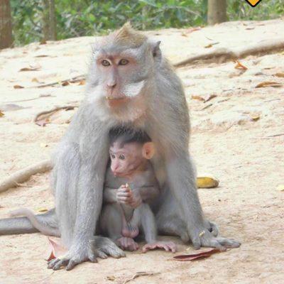 Mutter und Babyaffe im Monkey Forest Ubud