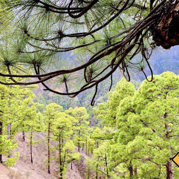 Nationalpark Caldera de Taburiente Kiefernwald am Mirador Las Chozas