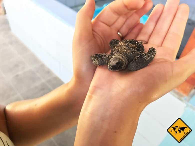 Neugeborene Schildkröte Bali