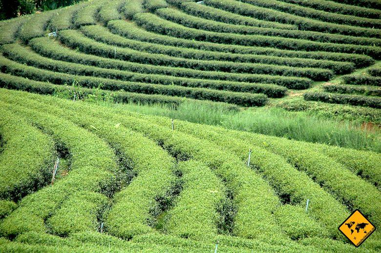 Nordthailand Rundreise Teeplantage Chiang Mai