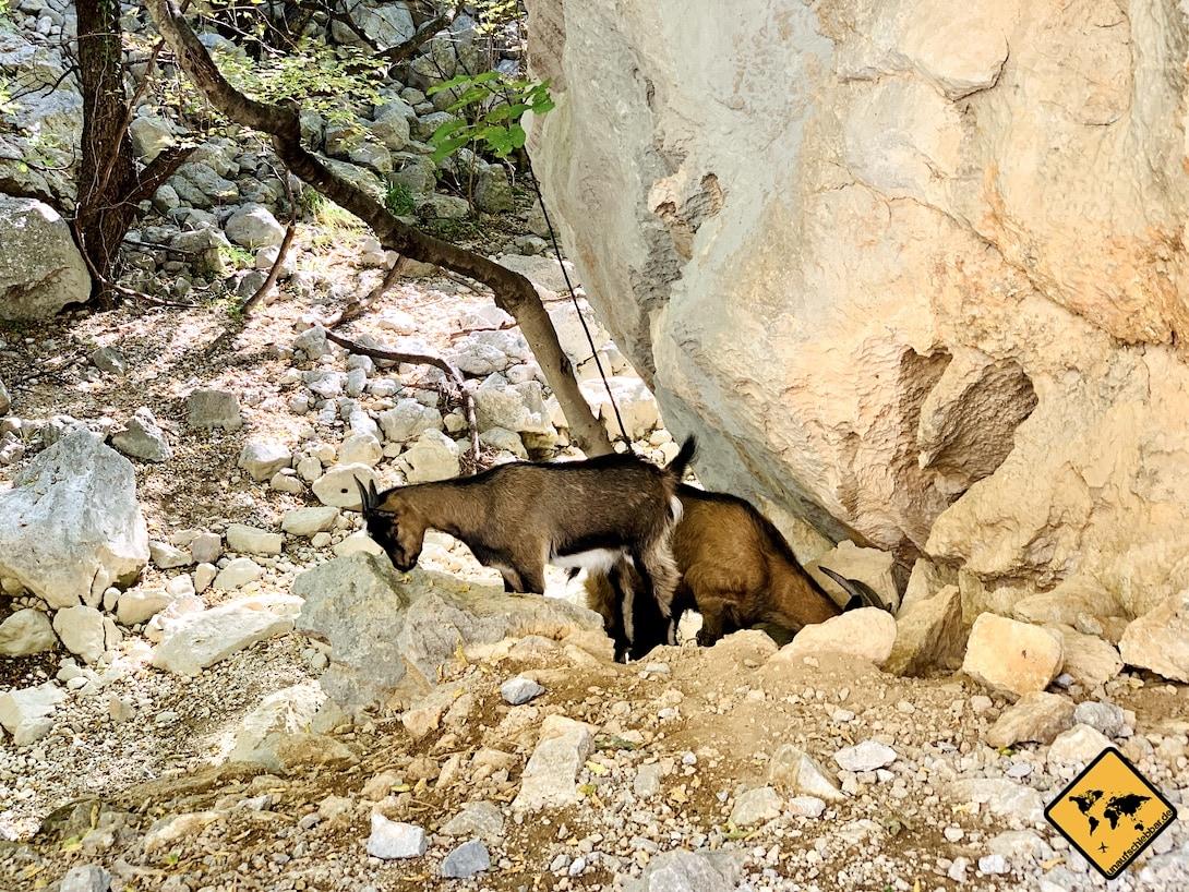 Paklenica Nationalpark Kroatien Ziegen