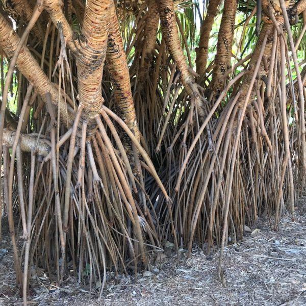 Palmenwurzeln Palmetum Santa Cruz Teneriffa