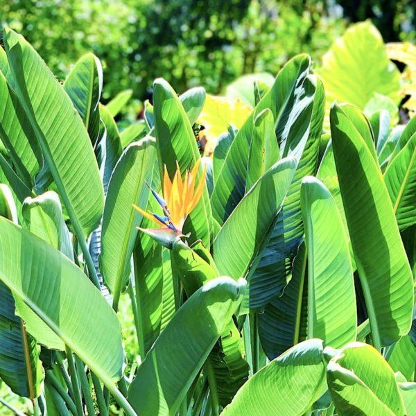 Papageienblume botanischer Garten La Orotava