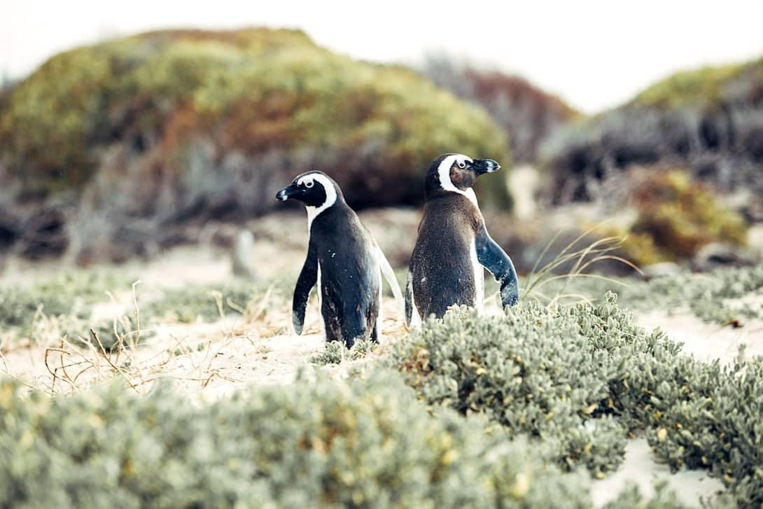Pinguine Boulders Beach Simon's Town