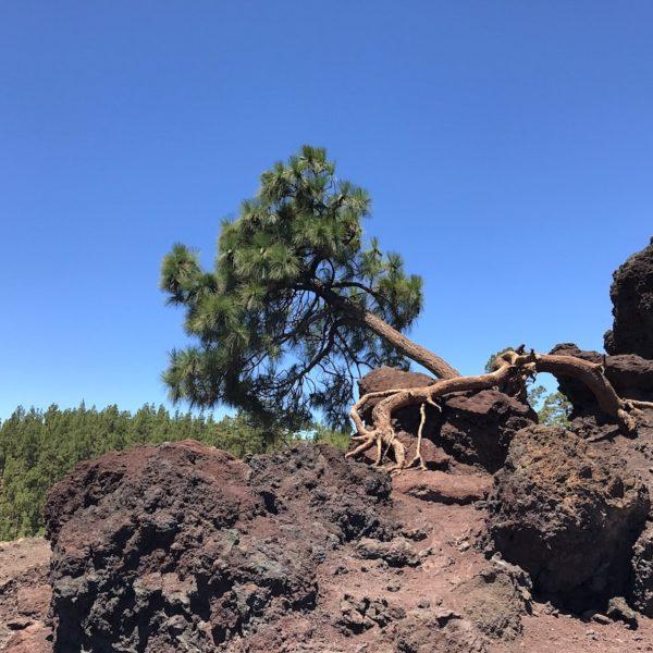 Pinienbaum Mirador de Los Poleos Teide Nationalpark