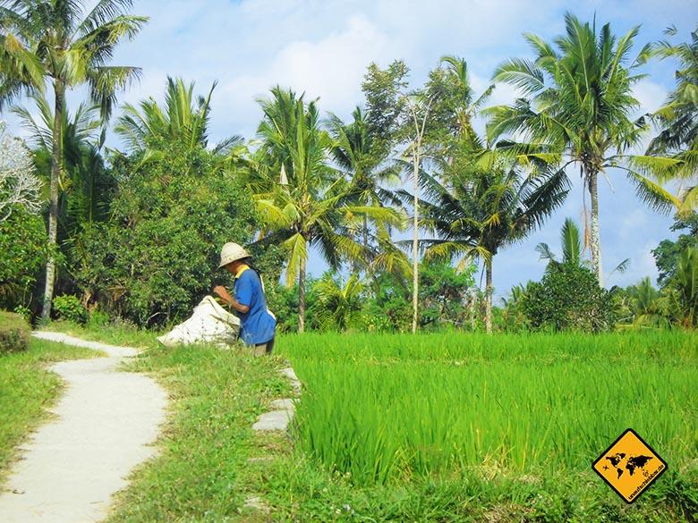 Reisen und Geld verdienen als Erntehelfer in einem Reisfeld auf Bali