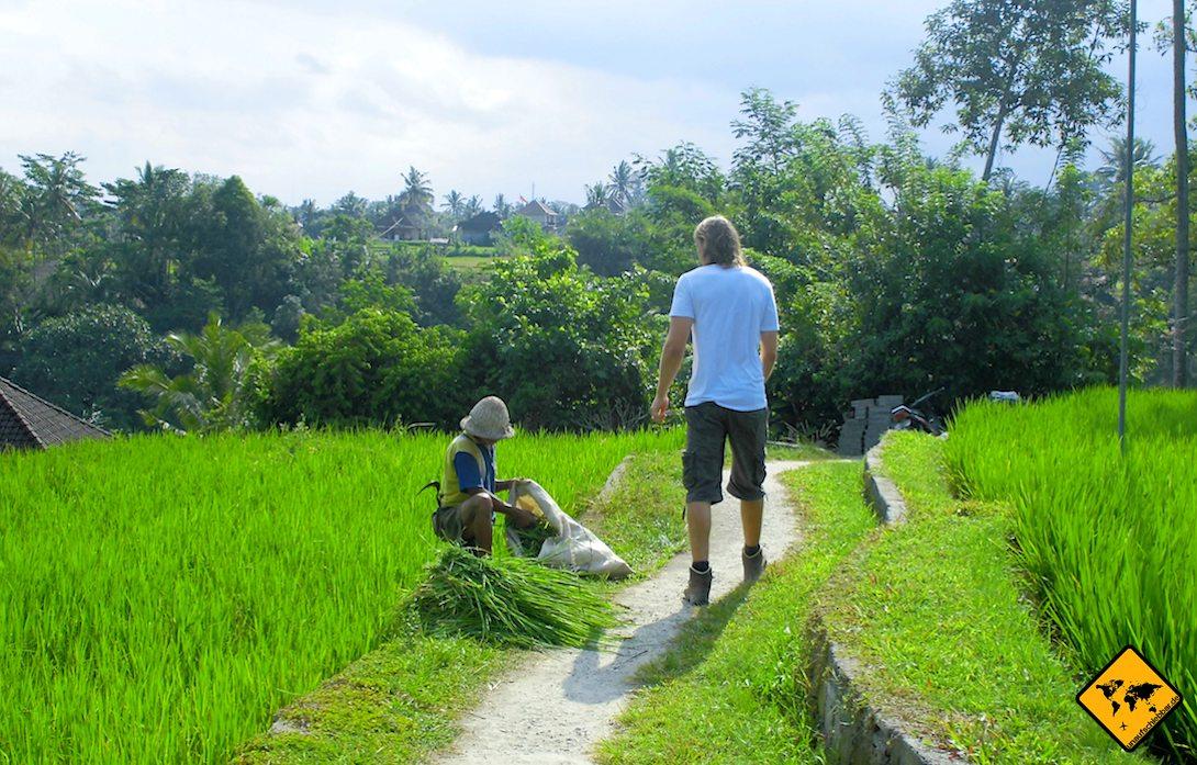 Reisernte Reisfelder in Ubud