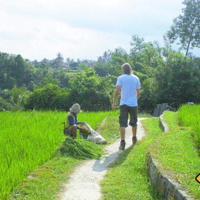 Reisernte in Ubud