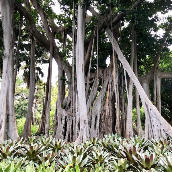 Der große Feigenbaum im Jardin Botanico hat zahlreiche Luftwurzeln gebildet, die ihm sein außergewöhnliches Erscheinungsbild verleihen