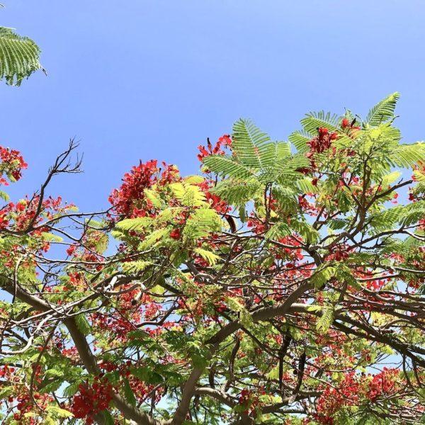 Santa Cruz de Tenerife Flammenbaum
