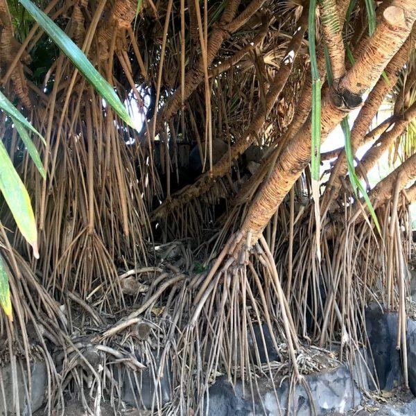 Santa Cruz de Tenerife Palmengarten Wurzeln