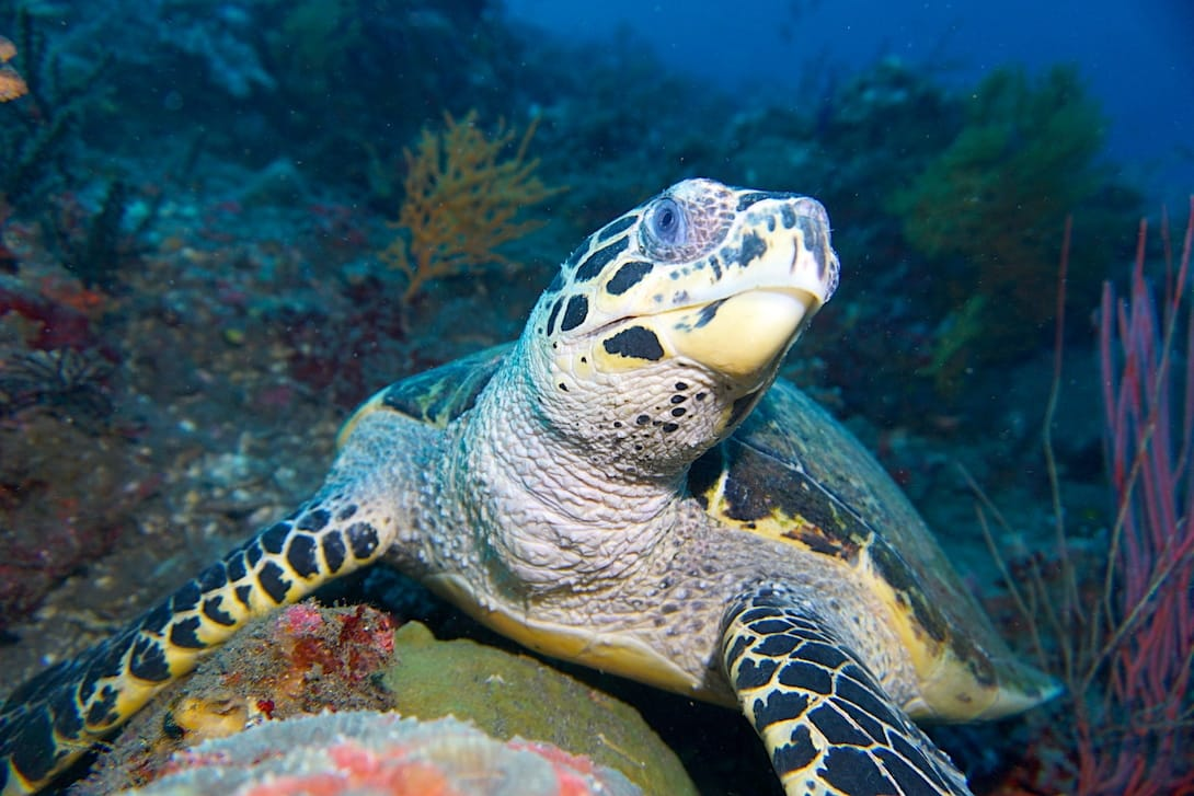 Schildkröte Emerald tauchen auf Bali