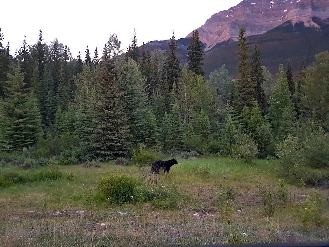 Schwarzbär Icefield Parkway kanadische Rocky Mountains