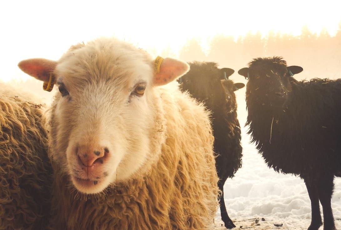 Schweden Tyresta Nationalpark Schafe
