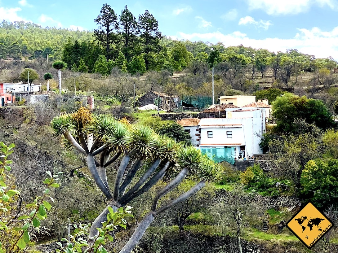 Sehenswürdigkeiten La Palma Drachenbaum Las Tricias