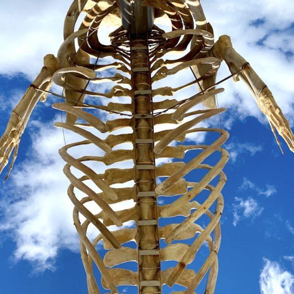 Skelett Seiwal Teneriffa
