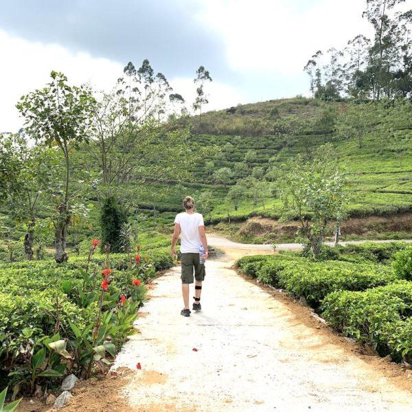 Spaziergang Teeplantagen Hatton