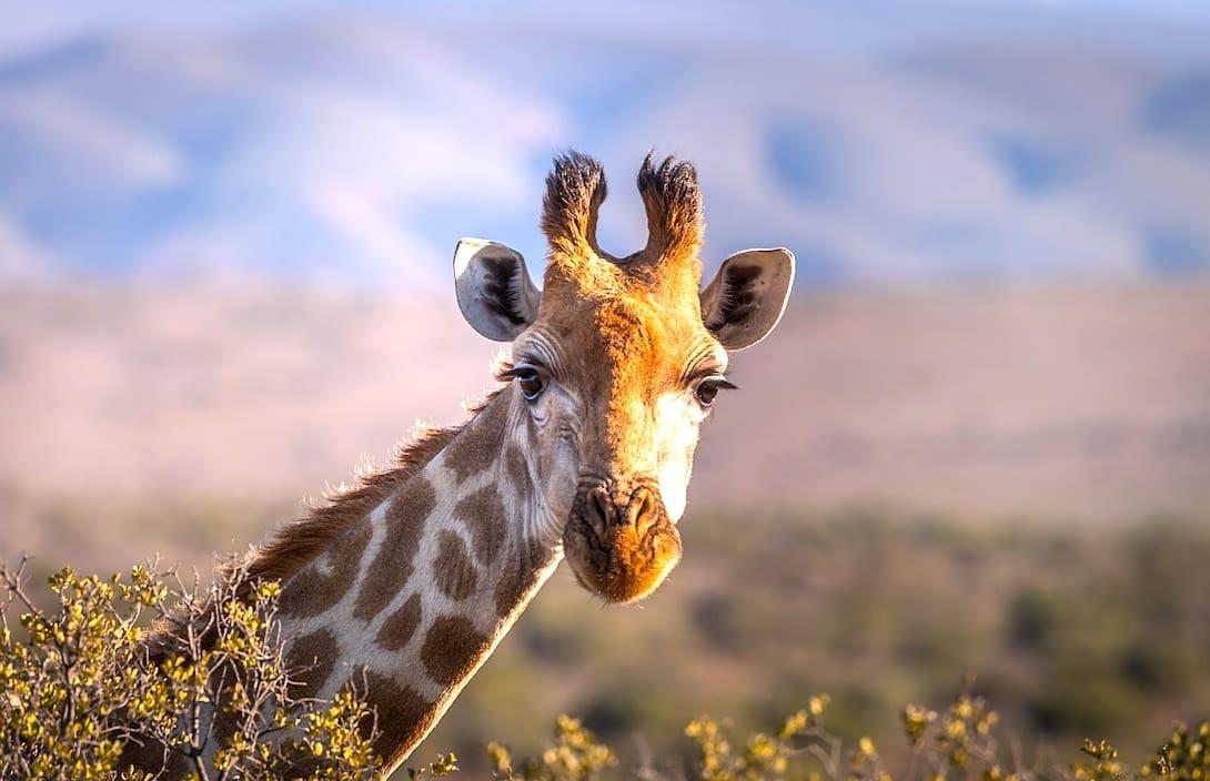 Südafrika Safari Giraffe
