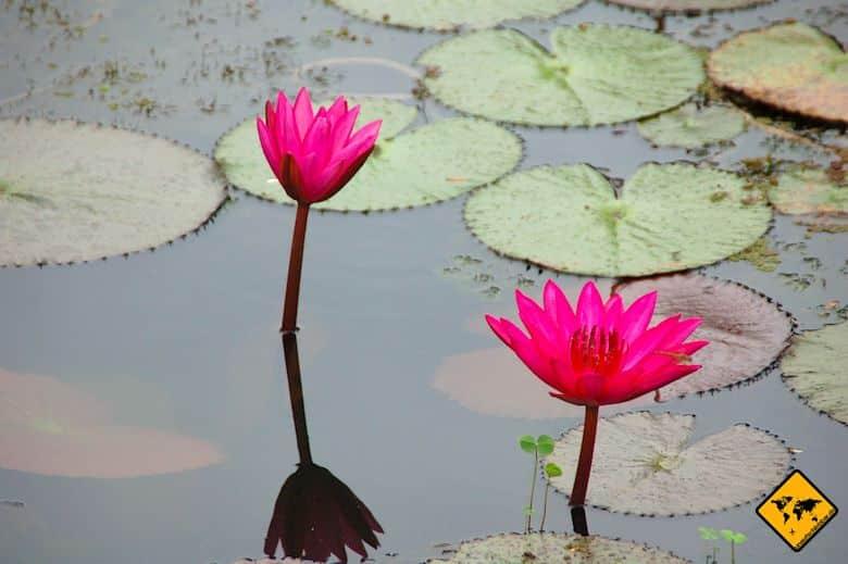 Sukhothai Lotusblumenteich