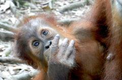 Sumatra Trekking mit Orang Utans – ein echtes Dschungel-Abenteuer!