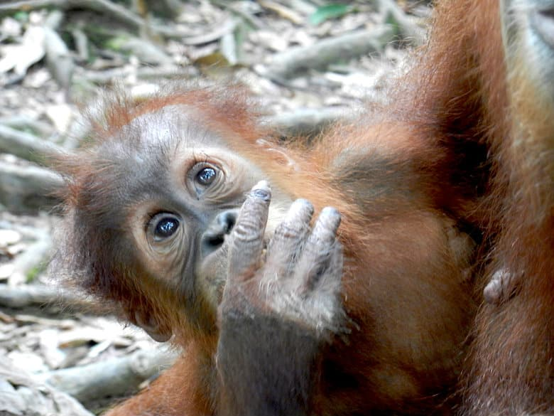 Sumatra Trekking Orang Utan Baby