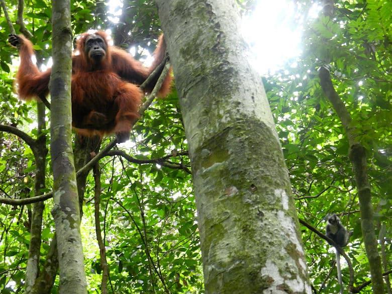Sumatra Trekking Orang Utan