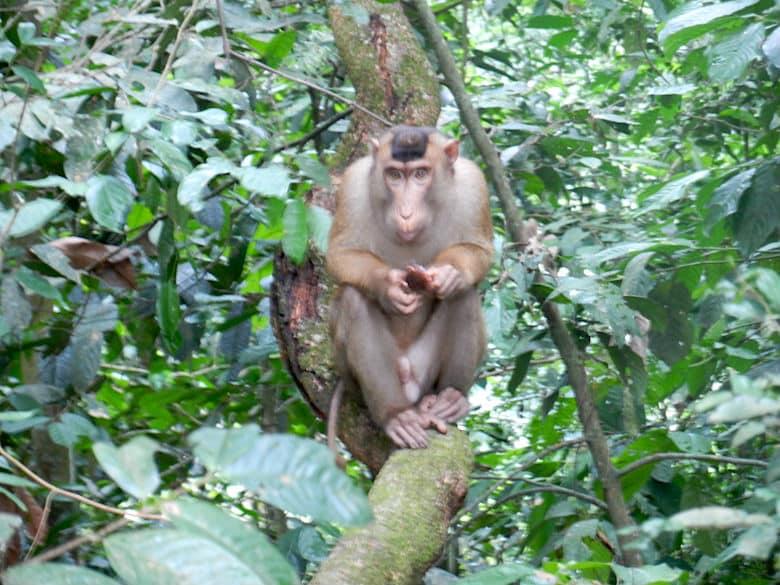 Sumatra Trekking Primaten