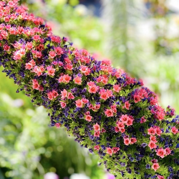 Tajinaste Blüten