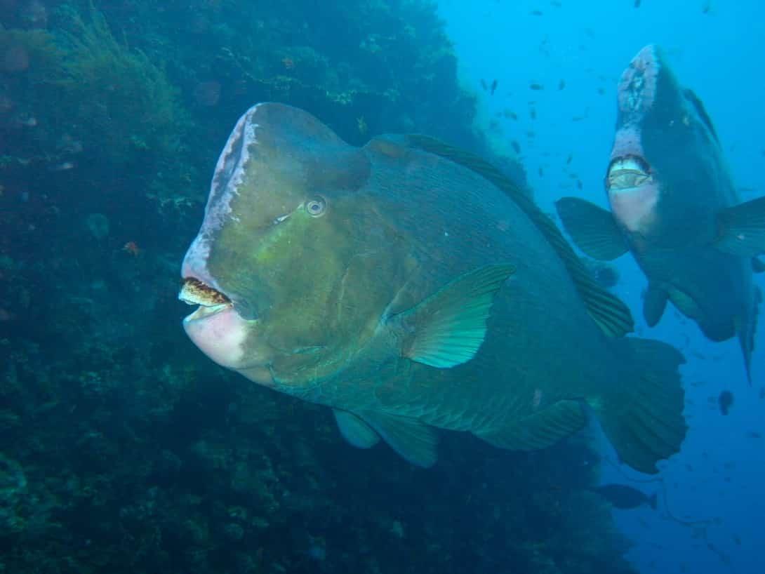 Tauchen Bali Büffelkopf Papageien Fische