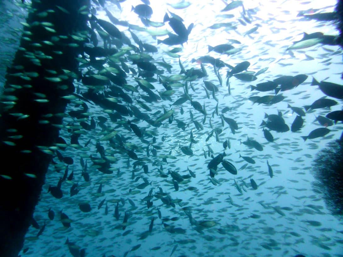 Tauchen auf Bali Fischschwarm Jetty