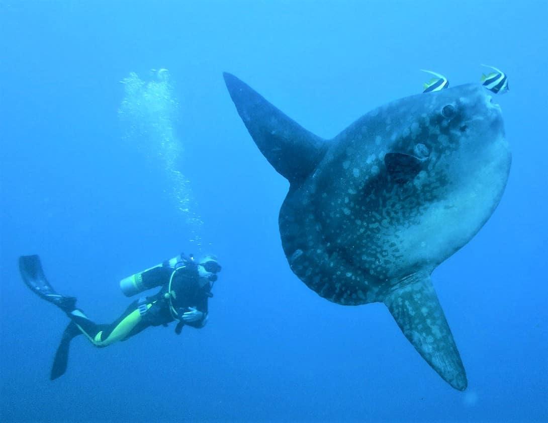 Tauchen auf Bali Mondfisch Crystal Bay