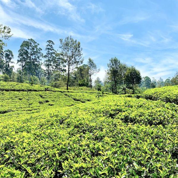 Teeplantage Mlesna Tea Castle St. Clair Hatton