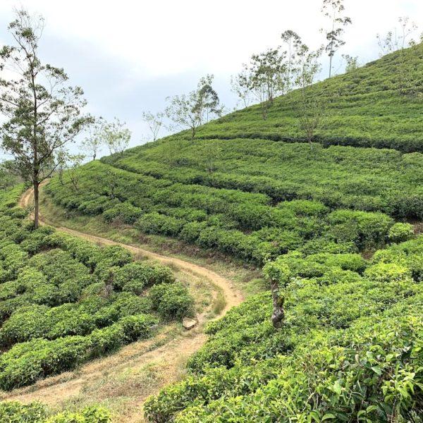 Teeplantage Weg