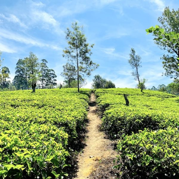 Teeplantage Weg Sri Lanka