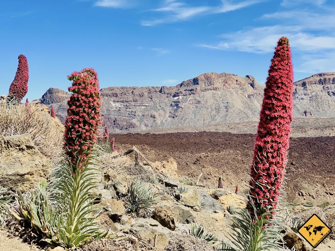 Teide Nationalpark Tajinasten blühend Mai 2019