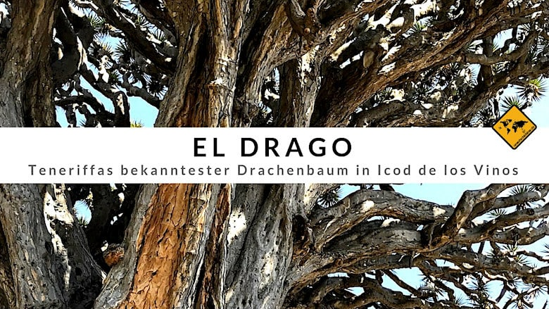 Teneriffa Drachenbaum El Drago